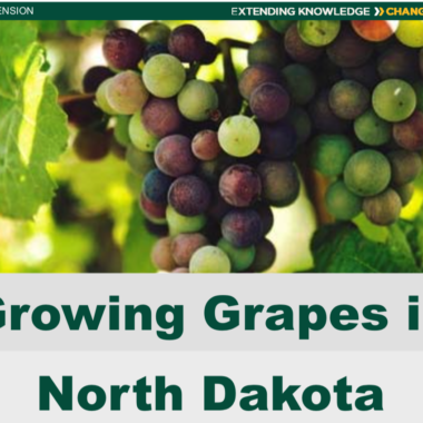Growing Grapes in North Dakota